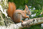 Egern - Red squirrel