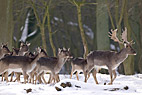 Hjorte i vinterklædt skov - Deers in winter forest