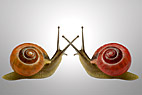 To dansende snegle - Two dancing Snails