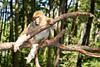 Makak abe - Barbary Macaque monkey