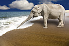 Elefant på stranden - Elephant on the beach