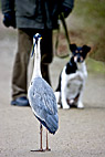 Fiskehejre - Grey Heron watching the dog