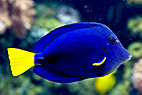 Kejser-kirugfisk - Indian yellowtail angelfish