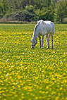 Hvid hest - White grazing horse on a dandelion field