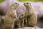 Præriehunde - Three Black tailed Prairie Dogs