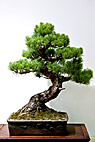 Bonsaitræ - White pine Bonsai tree