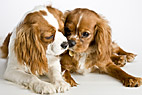 To Cavalier hunde - Two Cavalier King Charles Spaniel dogs
