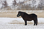 Islandsk pony - Black Icelandic horse in a snow covered field
