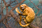 Gylden løveabe - Golden Lion Tamarin