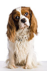 Baloo - A sitting Cavalier King Charles Spaniel dog