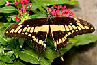 Sommerfugl - The King Swallowtail butterfly (Papilio Thoas)