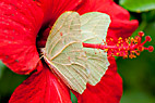 Sommerfugl - West Virginia White Butterfly (Pieris virginiensis)