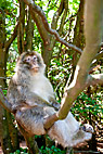 Berberabe - Barbary Macaque (Macaca sylvanus) monkey sitting in a tree