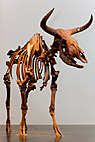 Urokse - The aurochs skeleton