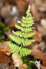 Skovbund - A fern leaf at the forest floor