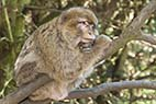 Makak abe - Barbary Macaque monkey from France Alsace Kintzheim